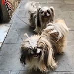 Imposible molar más que estos perretes  #perros #dogs #cane #hund #pets #instapets #mascotas #instadogs #dogsofinsta #raval #lhasaapso #peinado #look #hairstyle #cool thumbnail