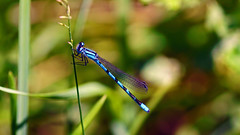 Bluet, Miller Creek - Duluth MN USA, 07/16/18 (TonyM1956) Tags: elements sonyalphadslr tonymitchell millercreek duluth minnesota stlouiscounty nature