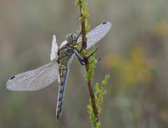 Libellule (guiguid45) Tags: nature sauvage insectes loiret libellules d810 nikon 150mmf28 sigma macro proxi orthétrumbleuissant orthetrumcoerulescens
