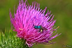 Blue bee (Juan Anza) Tags: riograndedosul pampa biomapampa naturewatcher naturelover naturepics natureza animal animalpics animalphotography aoarlivre flower pink