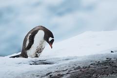 Pinguino (robertopastor) Tags: antarctica antarctique antarktika antartic antártida fuji mikklesenharbor puertomikklesen robertopastor trinityisland xt2 xf100400 islatrinidad aq