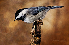 Carolina Chickadee (Creative Photo Images, LLC) Tags: birds carolinachickadee cromwellvalleypark wildlife carolina creativephotoimages llc baltimore md reynaldowilliams