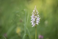 wild orchid (Emma Varley) Tags: commonspottedorchid wildflower westsussex june chesworthfarm horsham dreamy soft warm glow sunshine summer nature beauty