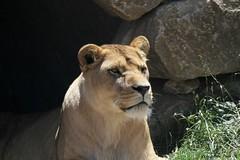 Lionne d'Afrique (Passion Animaux & Photos) Tags: lion afrique african panthera leo parc animalier auvergne france
