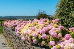 Hortensias (Oric1) Tags: fleur flora flores flower hydrangea bretagne 22 canon côtesdarmor france jeanlucmolle oric1 armorique breizh brittany eos hortensias