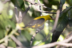 India Golden Oriole at Udaipur S24A7611 (grebberg) Tags: bird udaipur rajasthan india march 2018 indiagoldenoriole orioluskundoo oriole oriolus