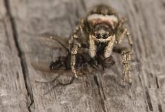 Salticus scenicus (Richard McMellon) Tags: salticusscenicus arachnid macro spider