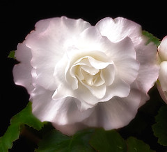 Tuberous Begonia (annabelleny Thank you for your many views and comm) Tags: flower floral tuberoousbegoniaruffled garden annjacobson