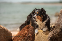 Catja at sea (Flemming Andersen) Tags: dog bordercollie outdoor nature hund catja animal