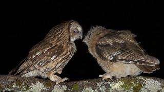 Tawny Owls feeding In Explore (30-06-18)