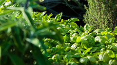 Basil (Nicola Pezzoli) Tags: italia bergamo leffe val gandino macro nature green natura ceride cerida basil basilico garden orto