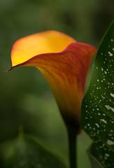 Glowing Crucible (fotostevia) Tags: aitkensirisgarden aitkenssalmoncreekgarden flowers calla callalily mangocalla mangocallalily
