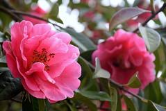 (Roi.C) Tags: flowers flower garden blossom nature outdoor season pink macro nikkor nikon nikond5300 2018 bright camellia bokeh