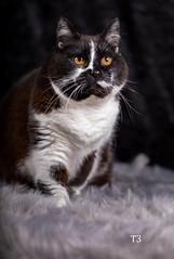 Studio Work with Timi (andreasmally) Tags: cats katze pets haustier hauskatze furr