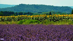 campagne fleurie (danie _m_) Tags: lovenature beautiful naturepic countryside fields flowers landscape flowerspower sunflowers lavender nature couleurs fleurs lavande tournesols campagne paysage