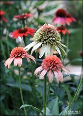 Garden Coneflowers... (angelakanner) Tags: canon70d lensbaby twist60 flowers coneflower garden longisland composerpro closeup
