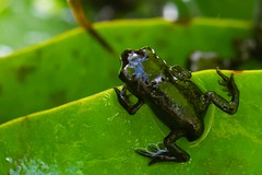 First Hops (Evoljo) Tags: frog baby amphibean pond leaf water hop green macro garden nikon d500