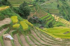_J5K4263.0914.Cầu Ba Nhà.Chế Cu Nha.Mù Cang Chải.Yên Bái (hoanglongphoto) Tags: asia asian vietnam northvietnam northwestvietnam landscape scenery vietnamlandscape vietnamscenery vietnamscene terraces terracedfields harvest terracedfieldsinvietnam house homes canon canoneos1dsmarkiii canonef70200mmf28lisiiusm tâybắc yênbái mùcangchải chếcunha cầubanhà phongcảnh phongcảnhmùcangchải ruộngbậcthangmùcangchải lúachín mùagặt mùcangchảimùalúachín mùcangchảimùagặt sườnđồi ngôinhà hillside curve đườngcong