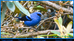 BLUE-AND-BLACK TANAGER Tangara vassorii at the Yanacocha Reserve in ECUADOR. Tanager Photo by Peter Wendelken. (Neotropical Pete) Tags: blueandblacktanager blueandblacktanageratyanacocha blueandblacktanagerinecuador tanager tangaraazulinegro tangaravassorii tangara thraupidae ecuadortanagers southamericantanagers ecuadorbirds southamericanbirds neotropicalbirds yanacochatanagers yanacochabirds aves yanacochareserve reservayanacocha volcánpichincha pichinchaprovince quito ecuador tanagerphotobypeterwendelken peterwendelken ngc npc