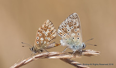 Chalkhill Blues (snapp3r) Tags: butterfly chalkhillblue draycott somerset