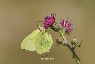 Brimstone on Dartmoor