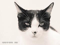 aguanta la mirada (susodediego ) Tags: yoda gato cat chat katzen olympus olympusem10markii mzuiko60mmf28macro bn bw susodediego contactgroups