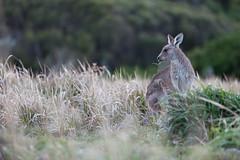 Eastern grey kangaroo (Mikey Down Under) Tags: australia bush clouds coast coffs dawn eastern grey headland kangaroo northcoast northern nsw scrub sunrise wild woolgoolga