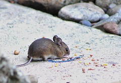 Woodmouse (Martellotower) Tags: woodmouse animal garden mouse
