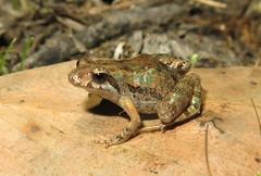 Beeping Froglet (Crinia parinsignifera) (Heleioporus) Tags: beeping froglet crinia parinsignifera new england region south wales