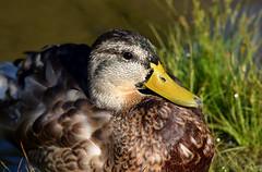 Mallard (careth@2012) Tags: mallard nature wildlife portrait beak feathers britishcolumbia nikon d3300 nikond3300 bird careth2012