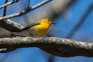 IMG_0709  Prothonotary Warbler