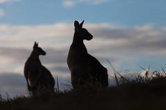 Kangaroo dawn (Mikey Down Under) Tags: 2 animal australia australian clouds coast coffs couple dawn daybreak eastern grey headland icon kangaroo northcoast northern nsw pair silhouette silhouetted sky sunrise two wild wildlife woolgoolga