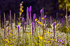 bokehlicious meadow story ... (mariola aga) Tags: summer meadow plants flowers wildflowers colorbalance hue bokeh dof nature art coth alittlebeauty coth5 thegalaxy