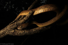 Brown tree snake (Boiga irregularis) (edward.evans) Tags: browntreesnake treesnake boiga boigairregularis catsnake cateyedsnake cairns farnorthqueensland queensland australia snake herp reptile herping fnq