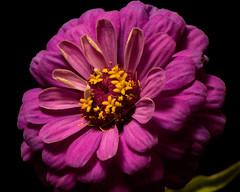 Purple Zinnia 1010 (Tjerger) Tags: nature flower flowers bloom blooms blooming plant natural flora floral blackbackground portrait beautiful beauty black fall wisconsin macro closeup yellow single purple zinnia