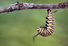 Monarch Butterfly Caterpillar- Danaus plexippus (Randy Lowden) Tags: monarchbutterfly caterpillar monarch jhang randylowden niagara canon