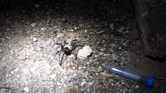 Arizona blonde tarantula (rebeccmeister) Tags: insects arizona arthropods