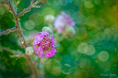 Fiore di rovo (adrianaaprati) Tags: flower bramble park summer july bokeh blur macro colors green pink