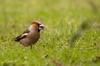 Hawfinch eating a cherry stone