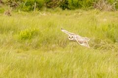 Short Eared Owl hunting (ejwwest) Tags: shortearedowl portsmouth owl hampshire asioflammeus langstone farlington birds southcoast solent england unitedkingdom gb