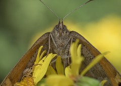 Meadow Brown (Chambers35) Tags: butterfly butterflies nature wildlife outdoors macrophotography macro macrodreams macros closeup nikon sigma beautiful portrait insects insect fauna invertebrates invertebrate