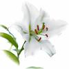 White Oriental Lily (jgaosb) Tags: white oriental lily highkey backyard