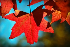 Always the Fall Guy (forestforthetress) Tags: autumn fall colors leaf tree outdoor color omot nikon beauty nature october google
