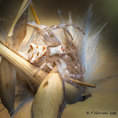 Arachnophobia (Fernando Guirado) Tags: lleida utxesa araña spider arachnida aracnido arachnidae olympus em1mk2 em1ii 60mmmacro stack closeup macro macrofotografia macrophoto macrophotography macrofoto