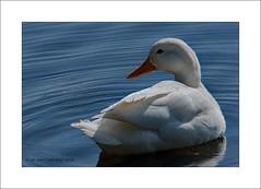 Duck on duck egg blue (prendergasttony) Tags: duck waterfowl nikon tonyprendergast d7200 pennington outdoor nature water wildlife blue orange feather beak duckeggblue colour