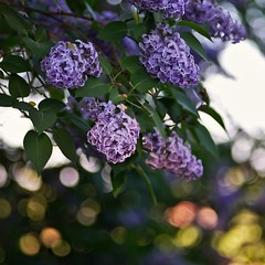 Syringa (Stefano Rugolo) Tags: stefanorugolo pentax k5 pentaxk5 smcpentaxm100mmf28 ricohimaging syringa lilla pink purple bokeh flowers blooming depthoffield spring hälsingland sweden sverige