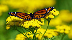 Viceroy (Limenitis archippus), Miller Creek - Duluth MN USA, 08/15/15 (TonyM1956) Tags: elements macrounlimited sonyalphadslr tonymitchell viceroy limenitisarchippus millercreek duluth bokeh nature insect sonyphotographing