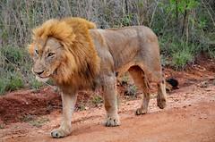 DSC_3038 a (2) (Tartarin2009) Tags: lion kruegerpark wildlife travel voyage nikon d7000 southafrica afriquedusud aube dawn trail fauve animal coth5