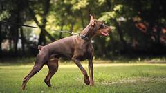 Checking around (zola.kovacsh) Tags: outdoor animal pet dog iron dobermann doberman pinscher