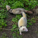 ferrets out for a walk